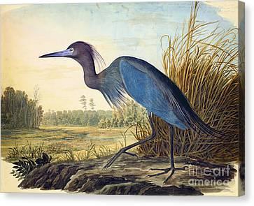 Little Blue Heron Canvas Print by Celestial Images