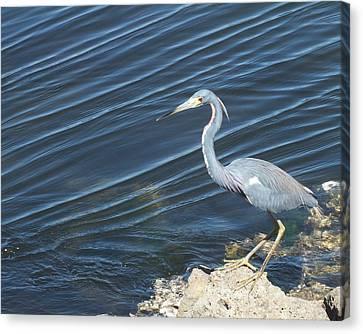Canvas Print - Little Blue Heron II by Anna Villarreal Garbis