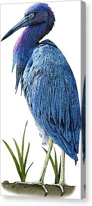 Little Blue Heron, Illustration Canvas Print by Roger Hall