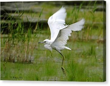 Little Blue Heron In Flight Canvas Print