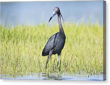 Little Blue Heron In The Marsh Canvas Print