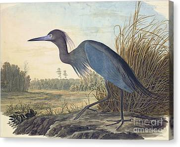 Heron Canvas Print - Little Blue Heron by Celestial Images