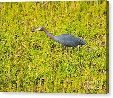 Little Blue Heron Canvas Print by Louise Heusinkveld