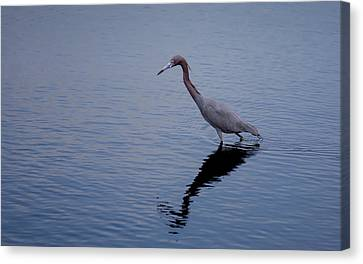 Canvas Print featuring the photograph Little Blue Heron On The Hunt by John M Bailey