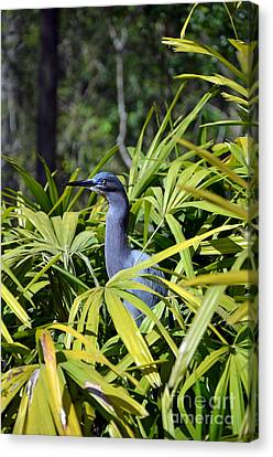 Canvas Print featuring the photograph Little Blue Heron by Robert Meanor