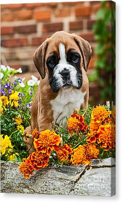 little Boxer Puppy in flowers Canvas Print by Doreen Zorn