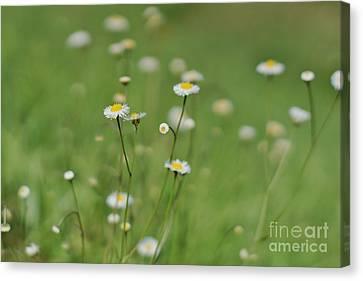 Little Daisies 2 Canvas Print by Lynda Dawson-Youngclaus