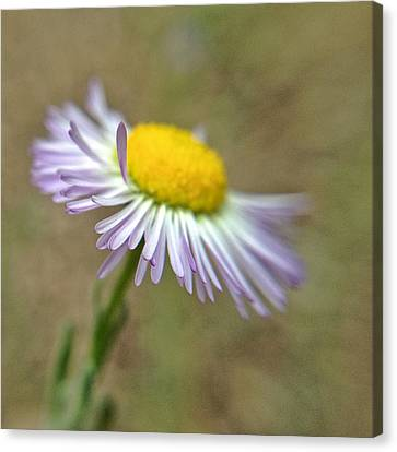 Canvas Print featuring the photograph Little Daisy by Kevin Bergen