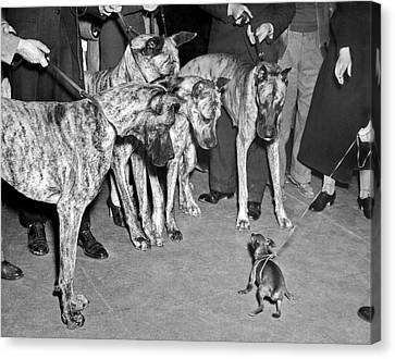 Little Dog Meets Big Dogs Canvas Print by Underwood Archives