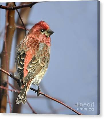 Little Finch Canvas Print