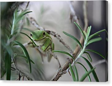Little Green Frog Canvas Print by Lynn Jordan