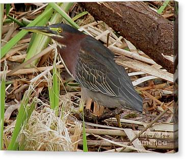 Canvas Print featuring the photograph Little Green Heron by Donna Brown