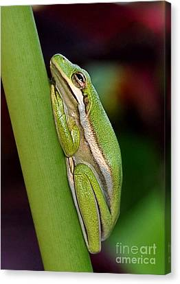 Canvas Print featuring the photograph Little Green Tree Frog by Kathy Baccari