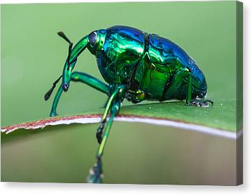 Little Green Weevil Canvas Print by Craig Lapsley