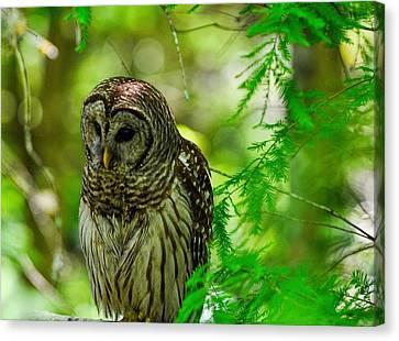 Little Hoot Owl Canvas Print by Pamela Blizzard