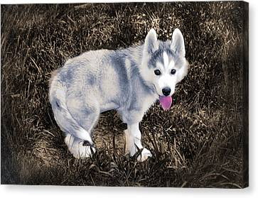 Little Huskie Pup Canvas Print by Bill Cannon