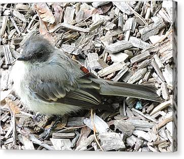 Little Junco Canvas Print by Chrissey Dittus
