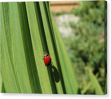 Ladybird Canvas Print by Cheryl Hoyle