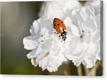 Little Ladybug On Baby's Breath Canvas Print