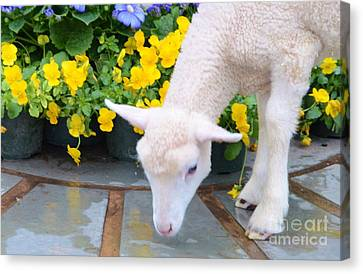 Little Lamb Canvas Print by Kathleen Struckle