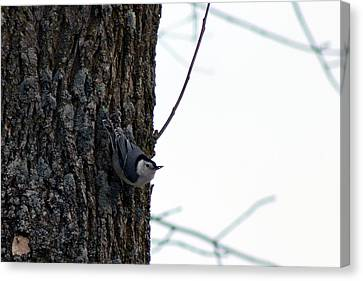 Little Nuthatch Canvas Print by Rhonda Humphreys