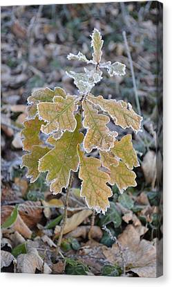 Canvas Print featuring the photograph Little Oak by Felicia Tica