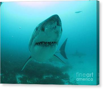 Little Punk Shark Canvas Print