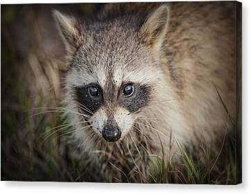 Little Raccoon In The Marsh Canvas Print by Bonnie Barry