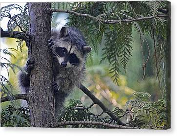 Little Raccoon Canvas Print by Maria Angelica Maira
