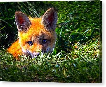 Little Red Fox Canvas Print by Bob Orsillo