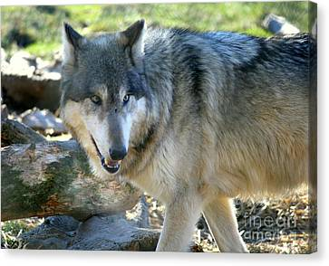 Wolf Hollow Encounter  Canvas Print by Neal Eslinger