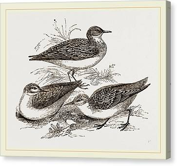 Little Sandpipers Canvas Print