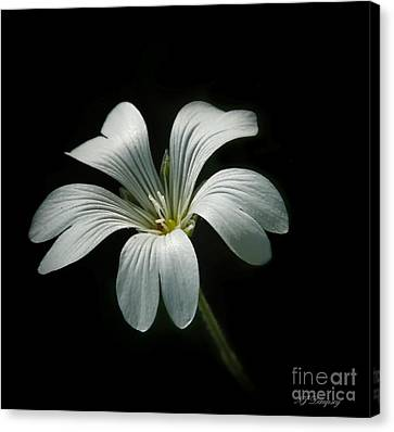 Little White Flower Canvas Print by Nancy Dempsey