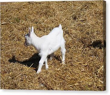 Little White Goat Canvas Print by Carolyn Ricks