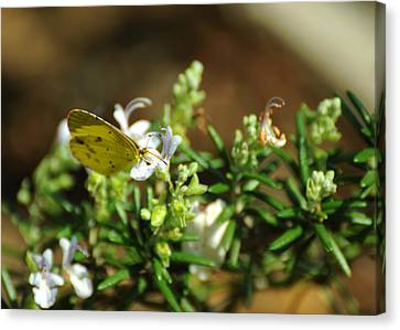 Little Yellow Butterfly On Rosemary Canvas Print by Rebecca Sherman