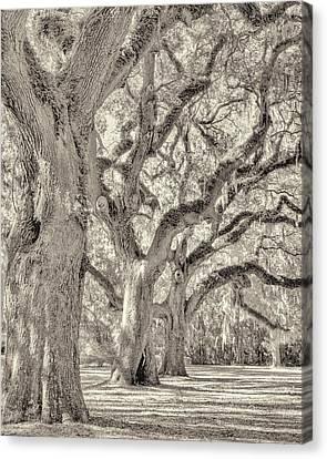 Live Oaks-1 Canvas Print by Bill LITTELL