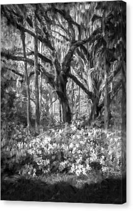 Live Oaks And Azaleas Painted Bw Canvas Print
