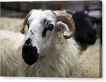 Livestock Auction Canvas Print