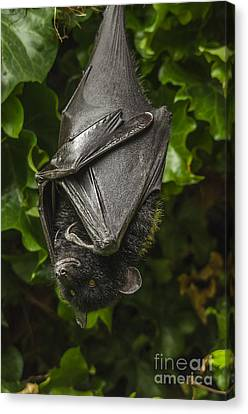 Livingstone's Fruit Bat Canvas Print by Darren Wilkes