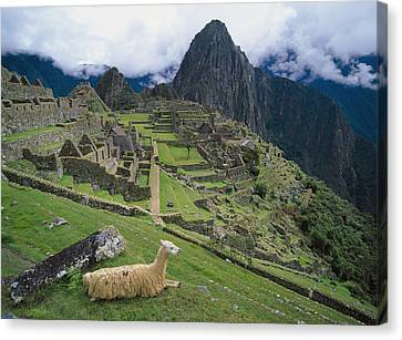 Llama At Machu Picchus Ancient Ruins Canvas Print by Chris Caldicott