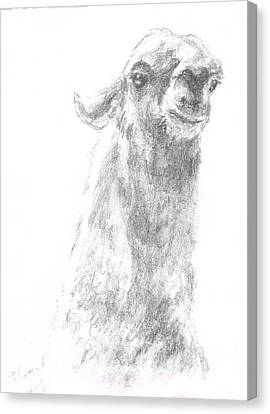Llama Close Up Canvas Print