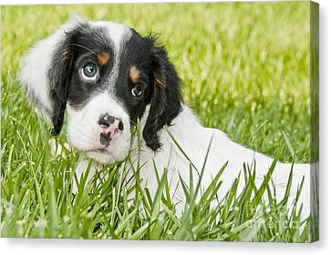 Llewellin Setter Puppy Canvas Print