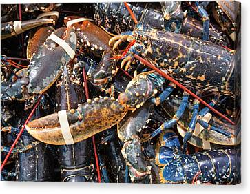 Lobsters Caught Off Craster Canvas Print by Ashley Cooper