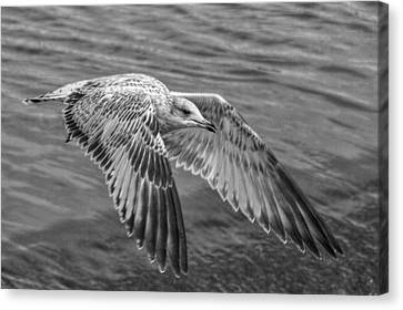 Flying Seagull Canvas Print - Locked On by Linda Unger