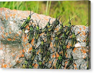 Locusts On A Rock Canvas Print by Philippe Psaila