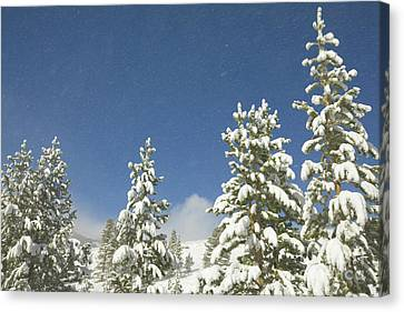 Lodgepole Pines In The Wind Canvas Print by Yva Momatiuk John Eastcott