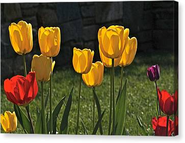 Lollipop Tulips And Grass And Stone Wall Canvas Print by Byron Varvarigos