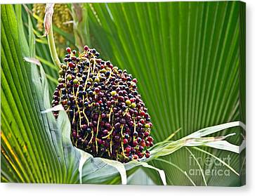 Lolou Palm Tree Berries Tropical Plant Canvas Print by Valerie Garner