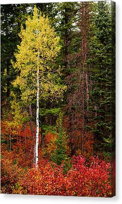 Lone Aspen In Fall Canvas Print by Chad Dutson