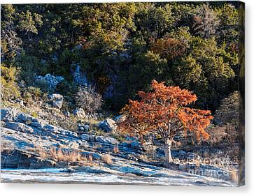 Babbling Canvas Print - Lone Bald Cypress At Pedernales Falls State Park - Johnson City Texas Hill Country by Silvio Ligutti